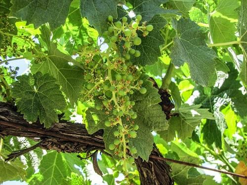 Winemaking-101-Part-1-Bud-Break