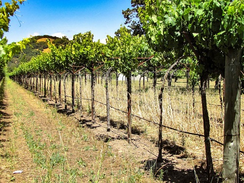 Winemaking-101-Part-I-growing-vines-in-the-vineyard-how-to