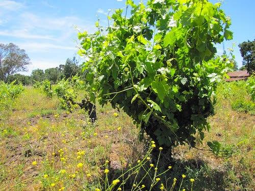 Winemaking-Part-1-growing-vines1-soil